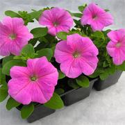 прдам летние цветы петуния пеларгония и др.