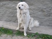 Продам щенков словацкого чувача