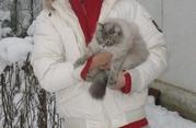 продам котят Невская маскарадная